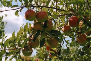 beckwith apples